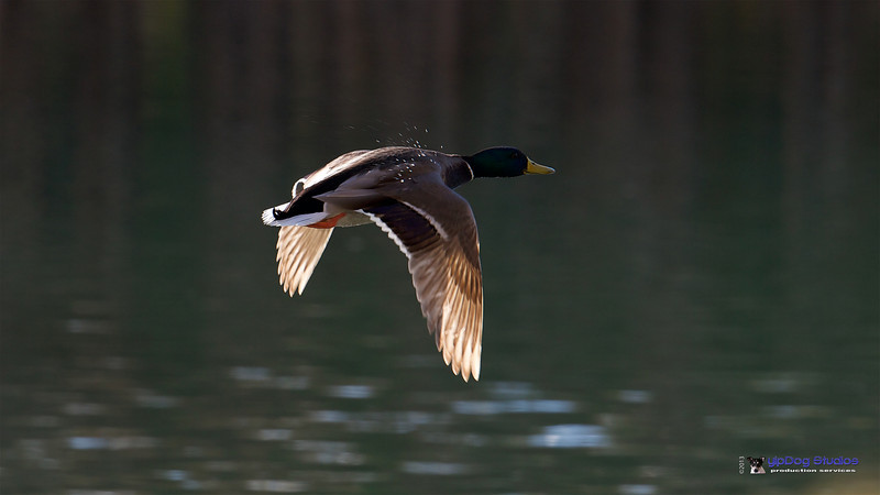 IMAGE: http://yipdog.smugmug.com/Animals/Birds/i-JLmpbzx/0/L/Water%20off%20a%20Ducks%20Back-L.jpg
