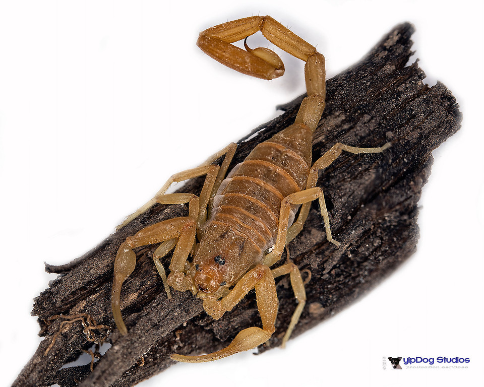 IMAGE: http://yipdog.smugmug.com/Nature/Insects/i-sTxWr8Z/0/XL/Scorpion%202-XL.jpg