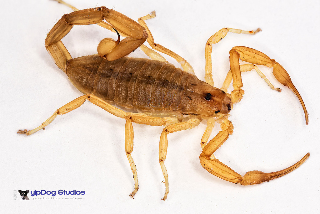 IMAGE: http://yipdog.smugmug.com/Nature/Insects/i-wGF4mfm/0/XL/Scorpion%203smaller-XL.jpg